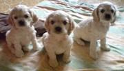 Продаются щенки американского кокер спаниеля.
